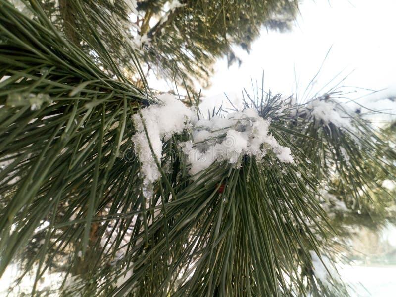 Zbliżenie śnieżny drzewo pod światłem słonecznym, sosna, jodła, roślina z płatek śniegu nad ono, zima zdjęcie stock