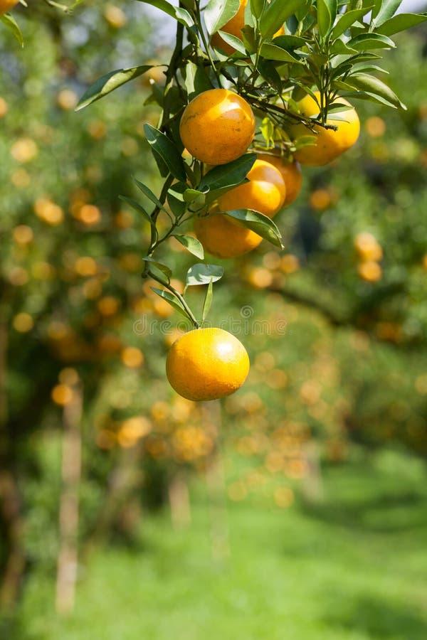 Download Zbliżenie świeża Pomarańcze Na Roślinie, Pomarańczowy Drzewo Zdjęcie Stock - Obraz złożonej z świeży, naturalny: 53783214