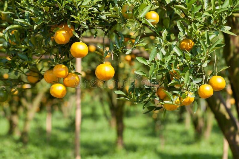 Download Zbliżenie świeża Pomarańcze Na Roślinie, Pomarańczowy Drzewo Obraz Stock - Obraz złożonej z uprawy, ogród: 53783323
