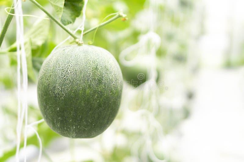 Zbliżenie świeży melon na gałąź w gospodarstwie rolnym, selekcyjna ostrość obrazy stock