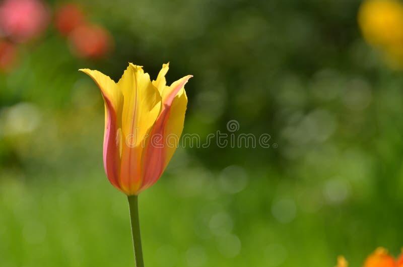 Zbliżenie żółty kędzierzawy tulipan zdjęcia royalty free
