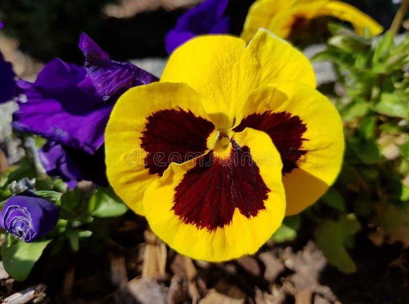 Zbliżenie żółty pansy Pi?kny kwiat w s?o?cu ostrza t?a pi?kna ogr?d kwiat?w fotografia stock