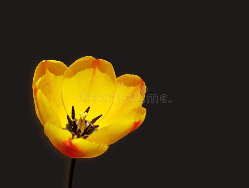 Zbliżenie żółty tulipan Ładny tulipanowy kwiat nad czarnym tłem obraz stock