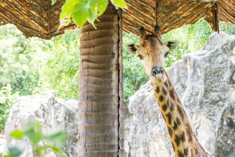 Zbliżenie żyrafa pod sunshade przy zoo tłem zdjęcie stock