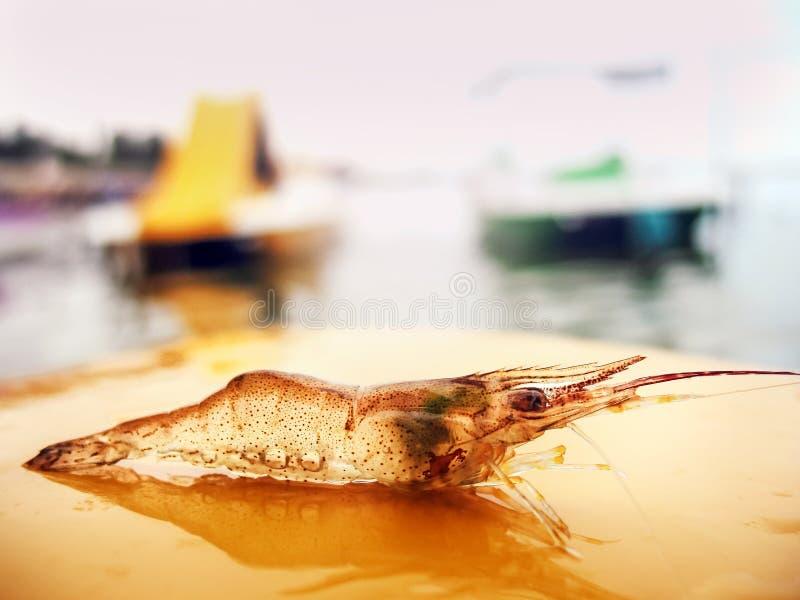 Zbliżenie żywy krewetkowy krill z dużymi oczami i wąsy zdjęcie royalty free