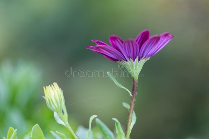 Zbliżenie Afrykańskiej stokrotki kwiat (Osteospermum ecklonis) zdjęcia royalty free