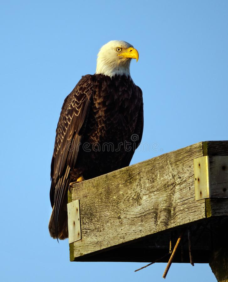 Zbliżenie Amerykański Łysy Eagle obrazy stock