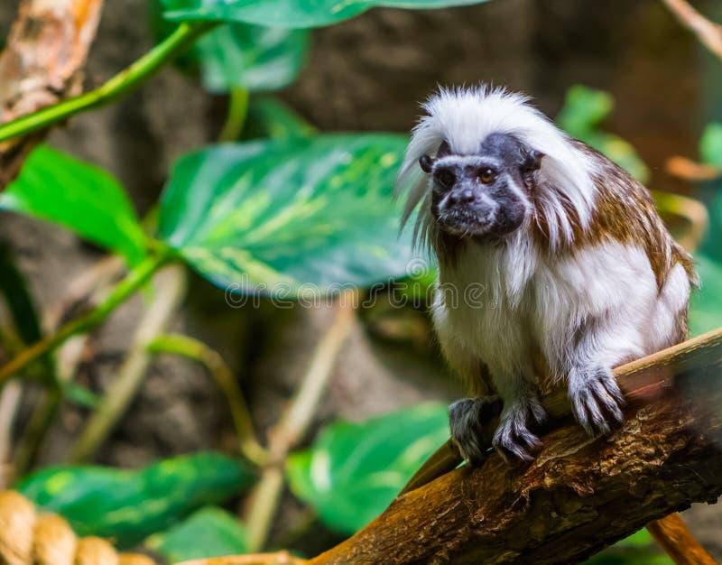 Zbliżenie bawełniany odgórny długouszki małpy obsiadanie na gałąź, krytycznie zagrażający zwierzęcy specie, tropikalny prymas od zdjęcia stock
