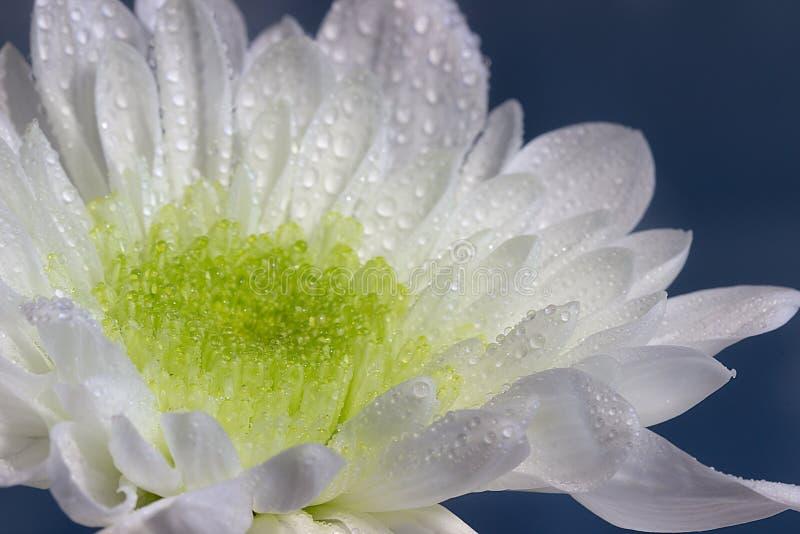 Zbliżenie biała chryzantema z wodnymi kropelkami fotografia royalty free