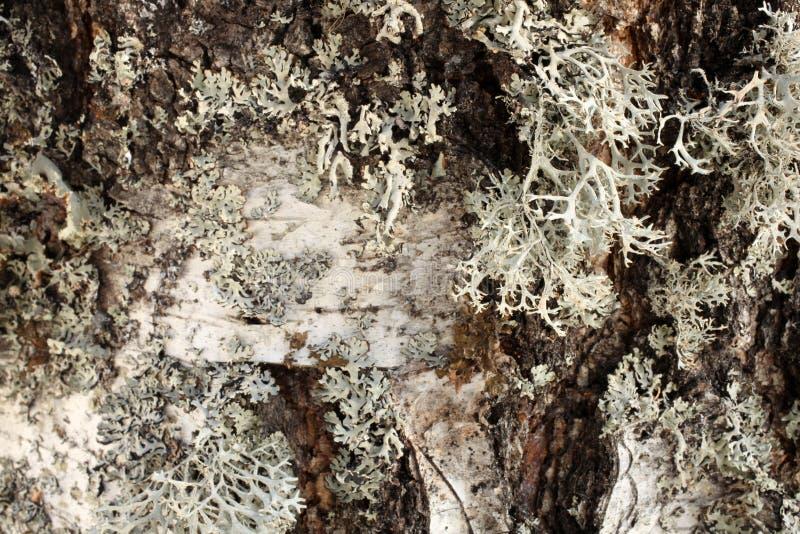 Zbliżenie białej brzozy drzewna barkentyna zdjęcia stock