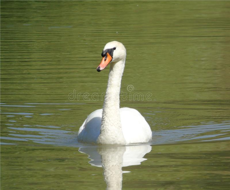 Zbliżenie biały łabędź na zielonej wodzie jeziorny, duży nadwodnego ptaka dopłynięcie, dzikie zwierzę obrazy royalty free