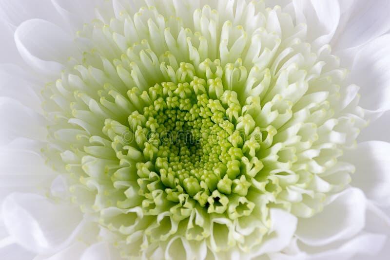 Zbliżenie biały chryzantemy centre fotografia royalty free
