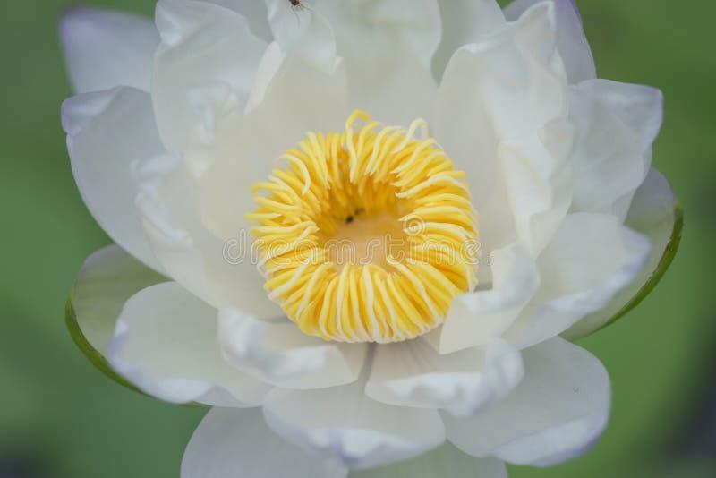 Zbliżenie biały lotosowy kwiat z żółtym pollen na zielonym liścia tle fotografia royalty free