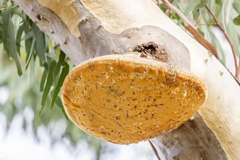 Zbliżenie Biały ruch punków lub Laetiporus portentosus grzyby na Eukaliptusowym drzewie przy lasami Historyczny park, Wiktoria, A zdjęcie royalty free