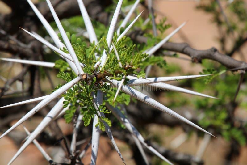 Zbliżenie biali akacjowi ciernie z jaskrawym - zielona akacja opuszcza w Południowa Afryka zdjęcia stock