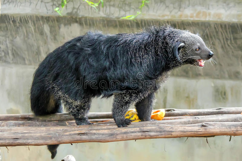 Zbliżenie Binturong lub Arctictis binturong w zoo zdjęcia royalty free