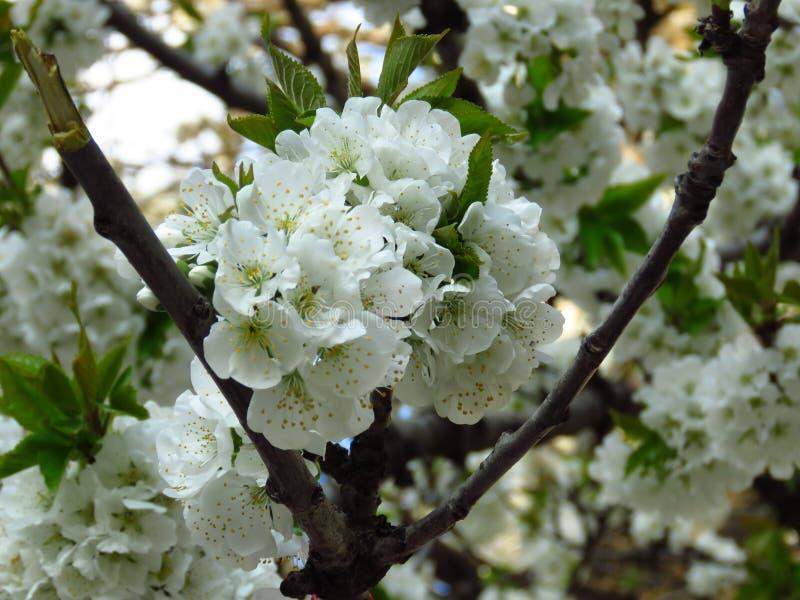 Zbliżenie bonkrety kwiatonośna kwitnąca gałąź na zamazanym tle Bonkrety drzewa zieleni i okwitnięcia biali liście fotografia royalty free