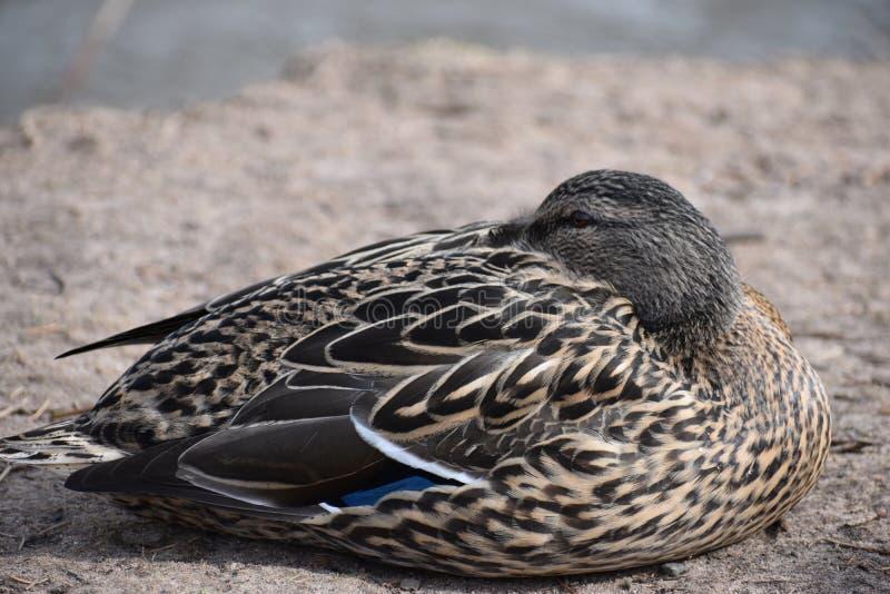 Zbliżenie brown kaczki dosypianie na a lakeshore w Kassel, Niemcy fotografia stock