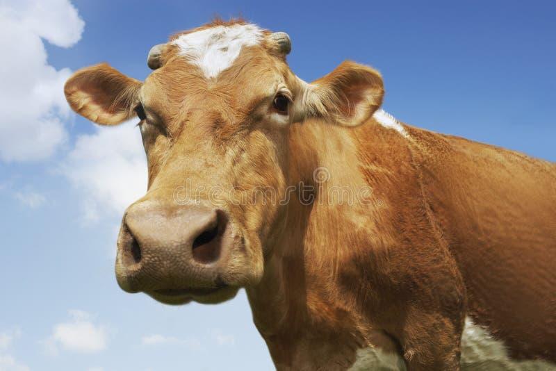 Zbliżenie Brown krowa Przeciw niebu obraz royalty free