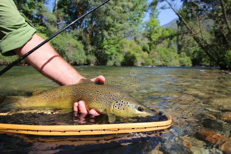 Zbliżenie brown pstrąg ryba łapiąca w sieci fotografia stock