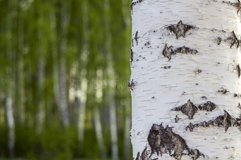 Zbliżenie brzozy drzewny bagażnik na rozmytym tle zielony las zdjęcie royalty free