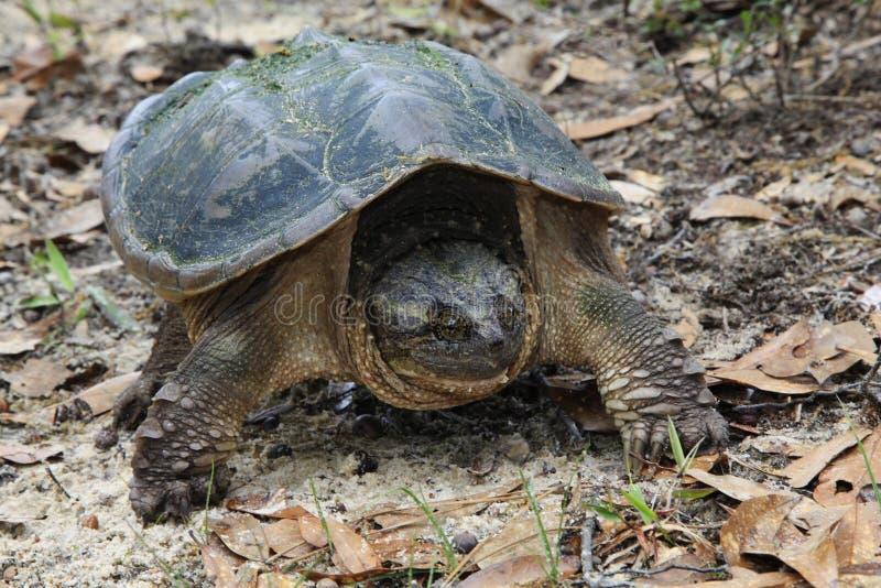 Zbliżenie chapnąć żółw obraz royalty free