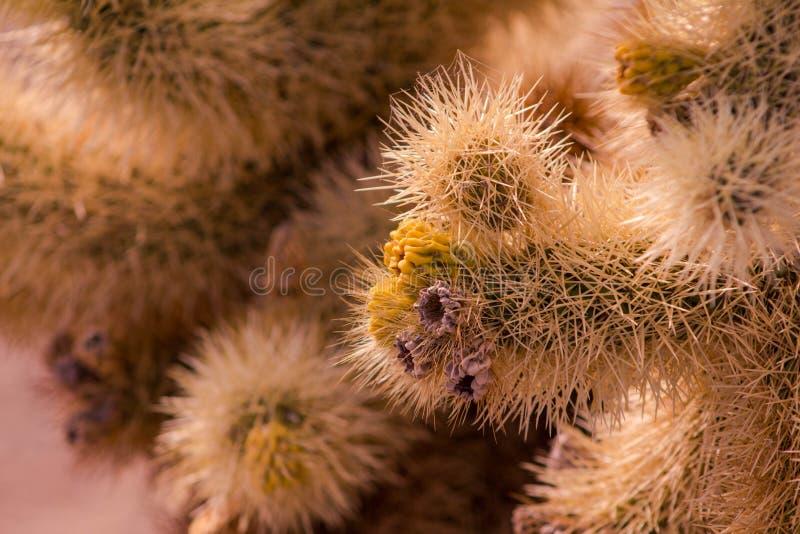 Zbliżenie Cholla kaktus na słonecznym dniu Selekcyjna ostrość z zamazanym tłem obraz royalty free
