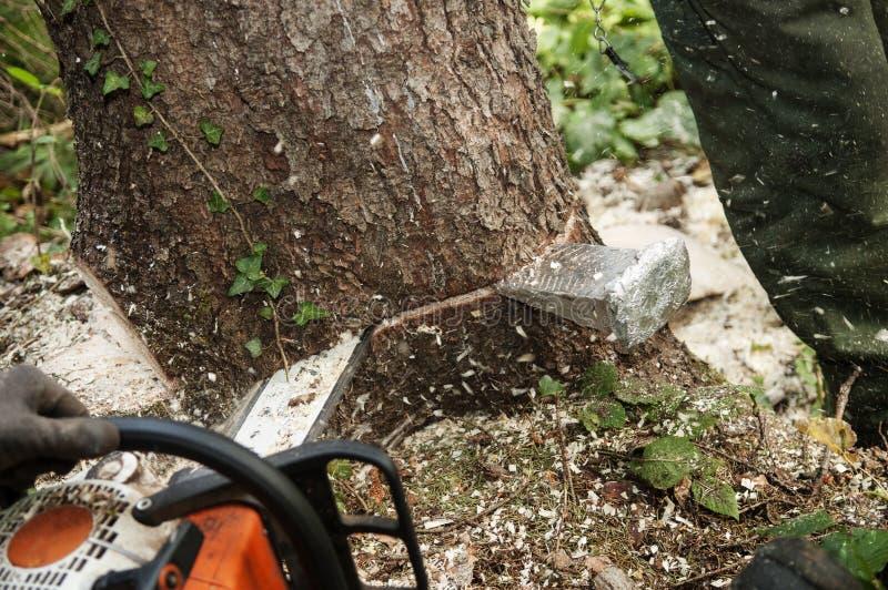 Zbliżenie ciapanie puszek drzewo z piłą łańcuchową zdjęcia stock