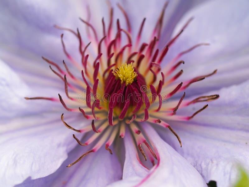 Zbliżenie Clematis kwiat, Bernadine fotografia royalty free