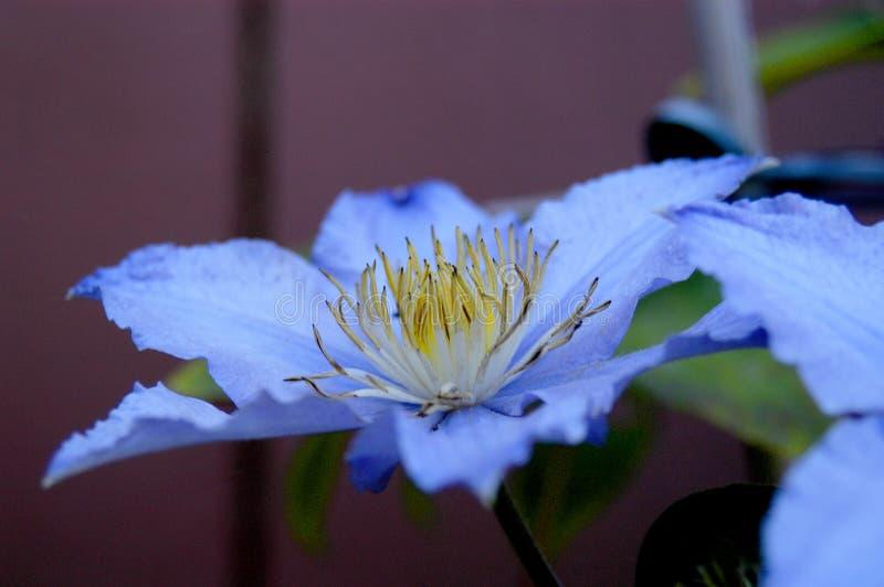 Zbliżenie clematis kwiat w pełnym kwiacie na lato dniu zdjęcie stock