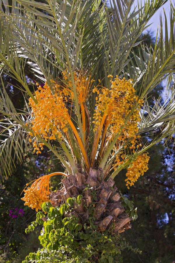 Zbliżenie colourful dat grona Gałąź daktylowe palmy fotografia stock