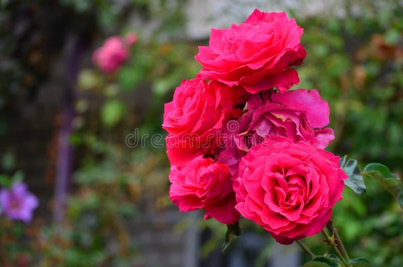 Zbliżenie cudowne jaskrawe różowe róże z zielonymi liśćmi zdjęcia stock