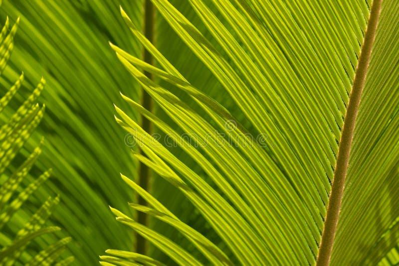 Zbliżenie cycad palmowy liść zdjęcie stock