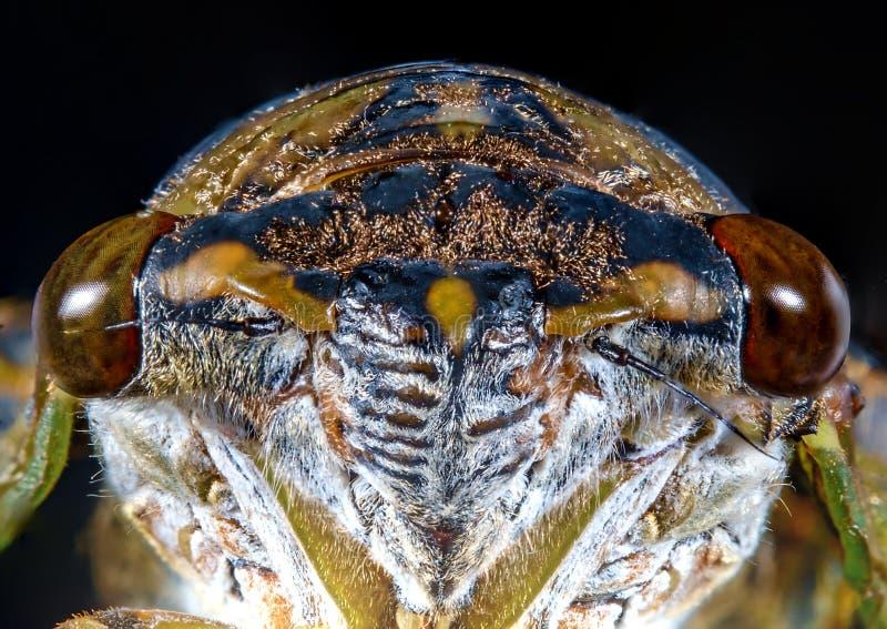 Zbliżenie cykady Makro- szarańcza fotografia royalty free