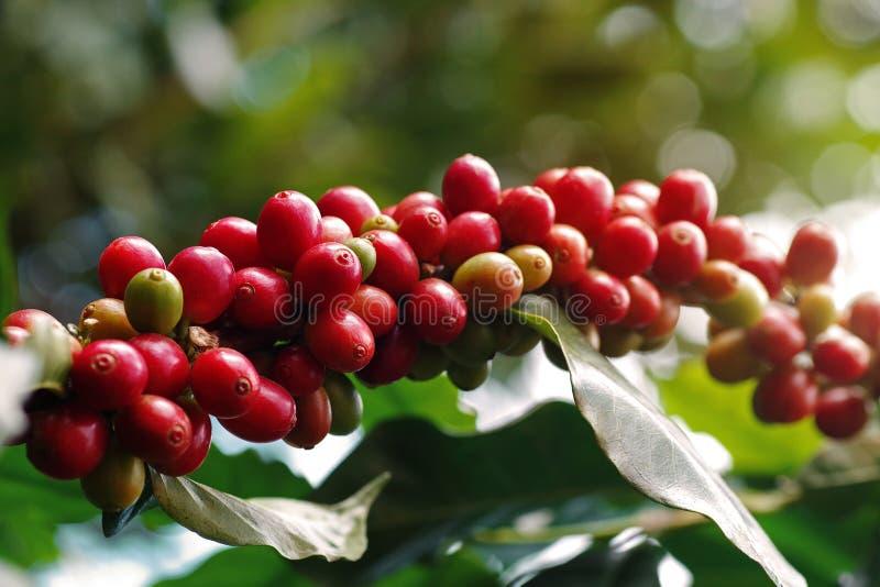 Zbliżenie czereśni z jagód kawy rośnie w skupiskach wzdłuż gałęzi drzewa kawy rosnącego pod drzewem leśnym, w odcieniu fotografia royalty free