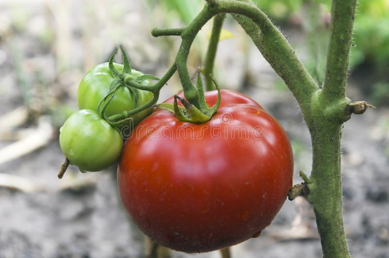 Zbliżenie czerwieni i zieleni pomidory w ogródzie obrazy stock