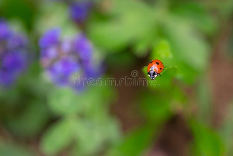 Zbliżenie czerwona biedronka na górze zielonego liścia z miękkim zamazanym tłem zdjęcie royalty free