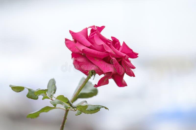 Zbliżenie czerwonej róży Zima na wybrzeżu zdjęcia royalty free