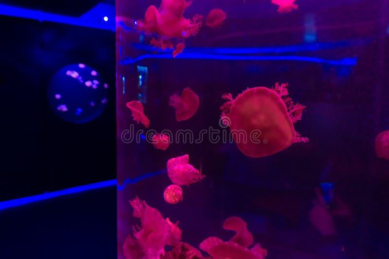 Zbliżenie czerwoni Jellyfishes w błękitnym neonowym świetle, zdjęcia stock