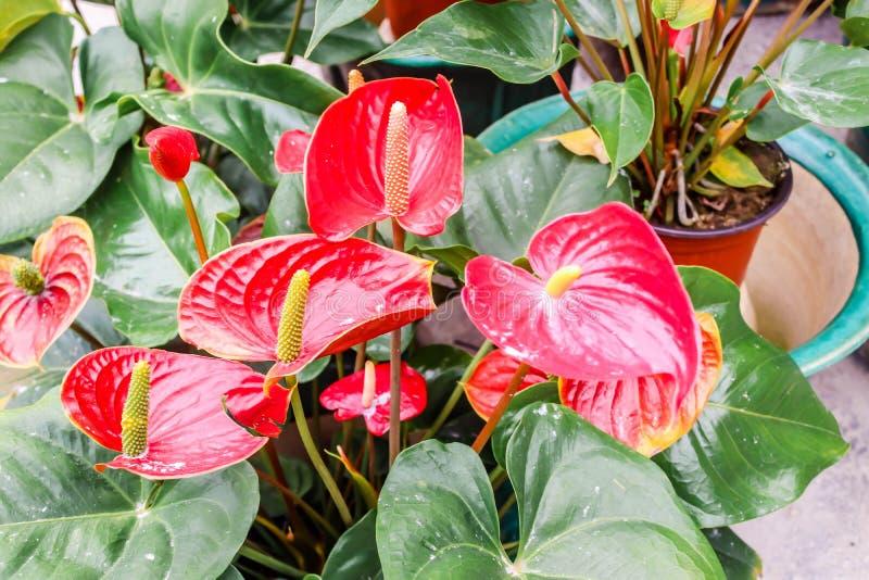 Zbliżenie czerwony Anthurium lub flaminga kwiatu kwiat w ogródzie zdjęcie stock