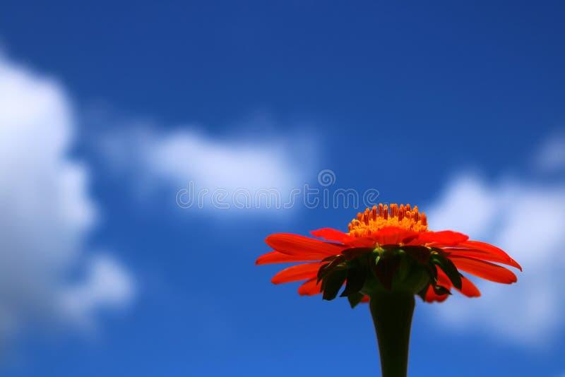 Zbliżenie Czerwony Meksykański słonecznik z niebieskim niebem obrazy royalty free