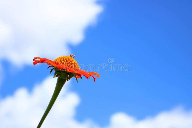 Zbliżenie Czerwony Meksykański słonecznik z niebieskim niebem obrazy stock