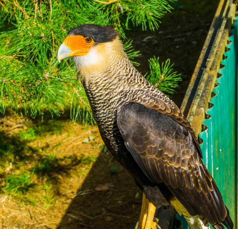 Zbliżenie czubaty caracara obsiadanie na ogrodzeniu, tropikalny ptak zdobycz od Ameryka zdjęcia royalty free