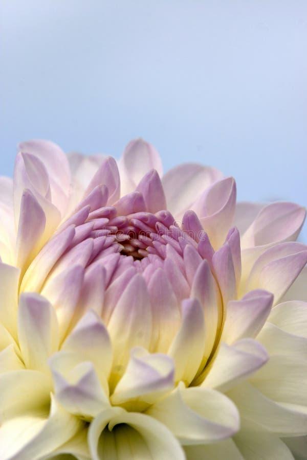 zbliżenie dahlię kwiat obraz stock