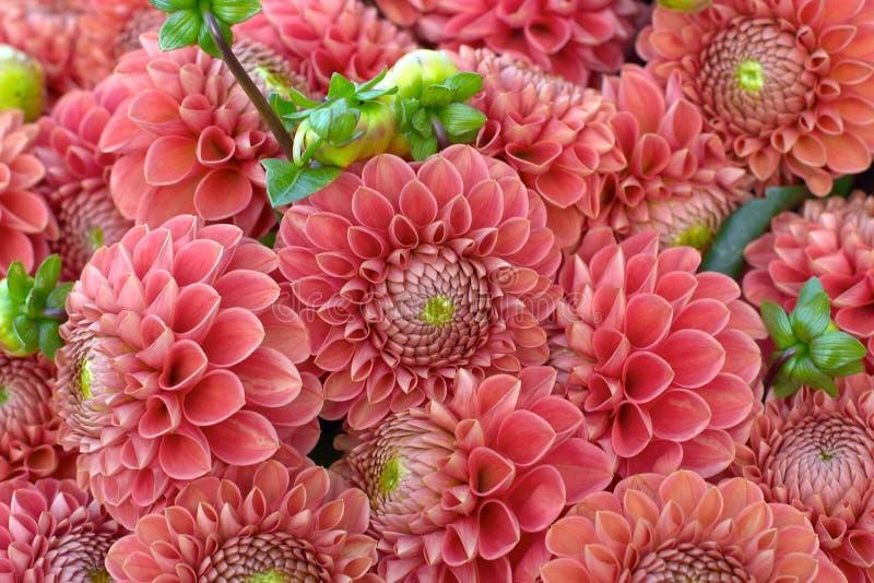 zbliżenie dahlię kwiat zdjęcia royalty free