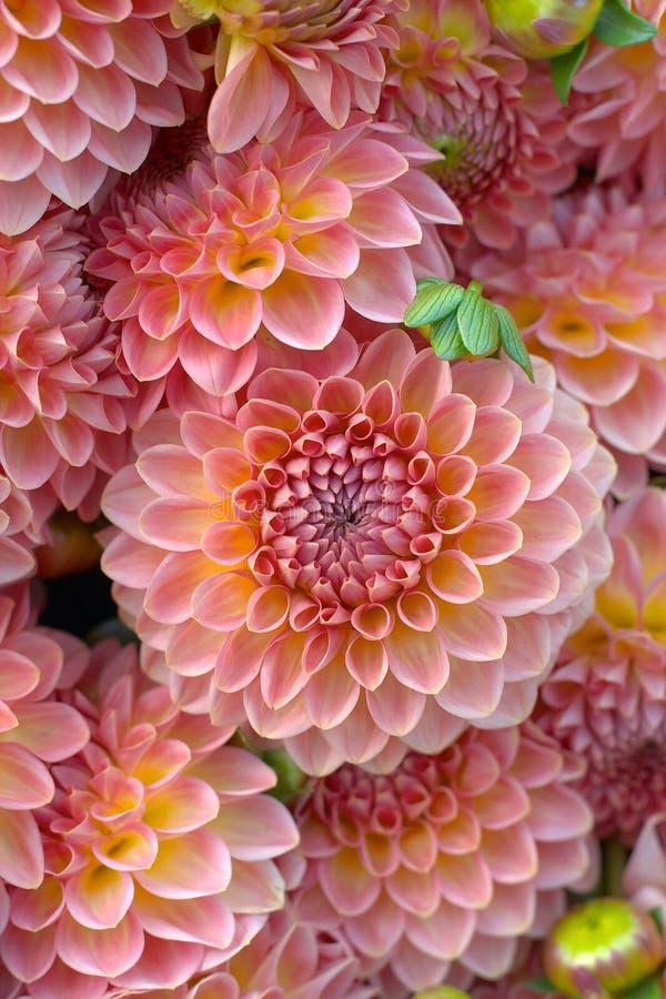 zbliżenie dahlię kwiat zdjęcie royalty free