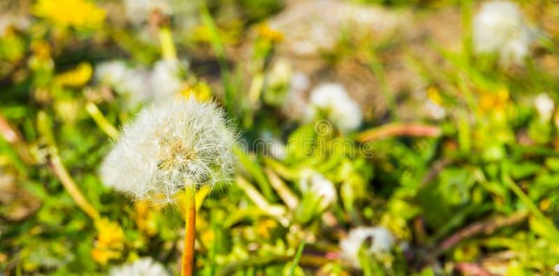 Zbliżenie dandelion kwiatu ziarna głowa, spadochronów ziarna, nasieniodajna dyspersja dziki kwiat obrazy royalty free