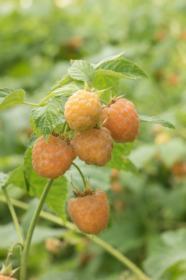 Zbliżenie dojrzała jagodowa żółta malinka na gałąź zdjęcie stock