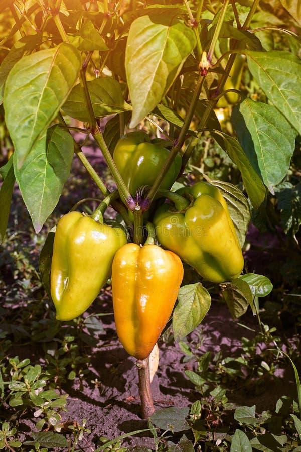 Zbliżenie dojrzenie pieprze w domu pieprzu plantaci Świeży kolor żółty i Pomarańczowe słodkie Dzwonkowego pieprzu rośliny, papryk fotografia royalty free