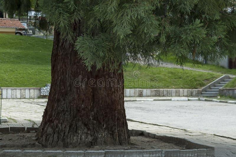 Zbliżenie drzewnego bagażnika redwood, sekwoja lub sekwoj sempervirens w Dushantsi wiosce, Środkowa Bałkańska góra, Stara Planina zdjęcia royalty free